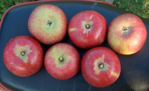 A nice selection of Minkler apples from Eastman's Antique Apples, Wheeler, Michigan. Minklers are large, juicy, and crisp, good for both eating and cider.